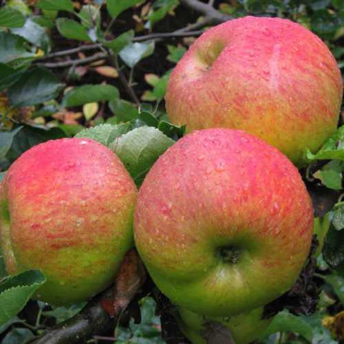 Особенности сорта яблони Орловское полосатое: