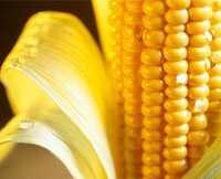 Полезные свойства кукурузы, лечебные свойства, в