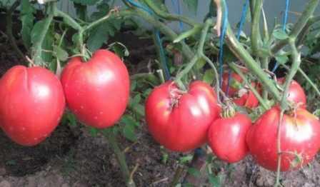 Особенности томата сорт Кардинал: