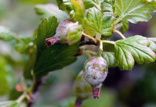 Белый налёт на ягодах крыжовника: как бороться с
