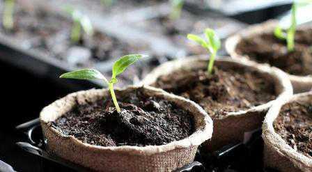 Когда сеять перцы на рассаду: правильная посадка