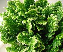 Селагинелла: уход и выращивание селагинеллы