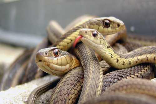 К чему снятся змеи мужчине, убить змею,