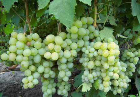 Особенности винограда Атаман: фото,